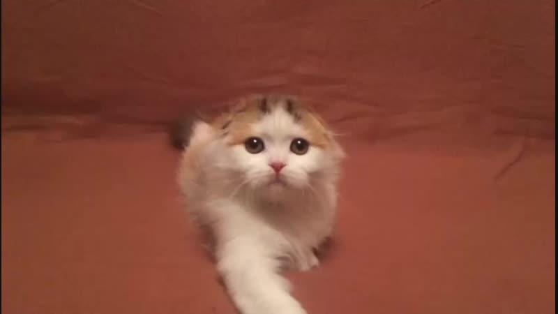 кошка Елика