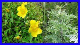 La Artemisia vulgaris, Artemisa, La Hierba de San Juan, Artemega, Ceñidor, Yuyo Crisantemo , Madra .