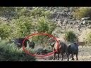 Удивительно Буйволы спасли слоненка от львов
