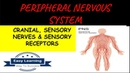 Peripheral Nervous System-Cranial and Spinal Nerves, Sensory Receptors