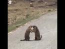 В Китае два сурка устроили драку прямо на дороге из-за самки NR