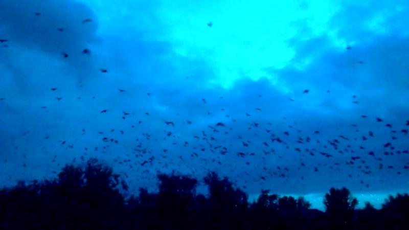 Галки летят кушать утром.С пороховых погребов в Амурском посёлке,где они живут,на свалку за город.