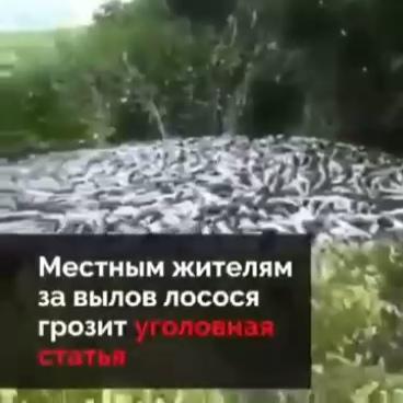 Добыча тихоокеанского лосося на Камчатке