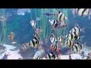 Барбусы в аквариуме Animals fish