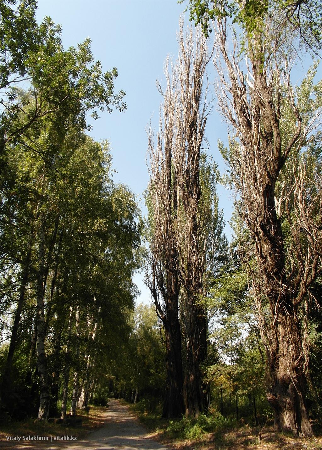 Тополя в Ботаническом саду Алматы 2018