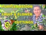 Purple Passion Fruit &amp Flowers Cutting Propagation Genetically Identical Plants