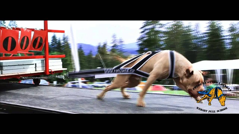 PIT BULL SHOW Slovakia Weight Pulling VIDEO-Weight Pulling Latvija