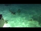 Sharks feeding at Maldives