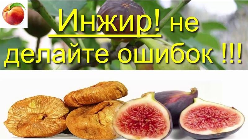 Инжир выращивание в доме Формировка Правила ухода и ошибки Fig Инжир в Сибири