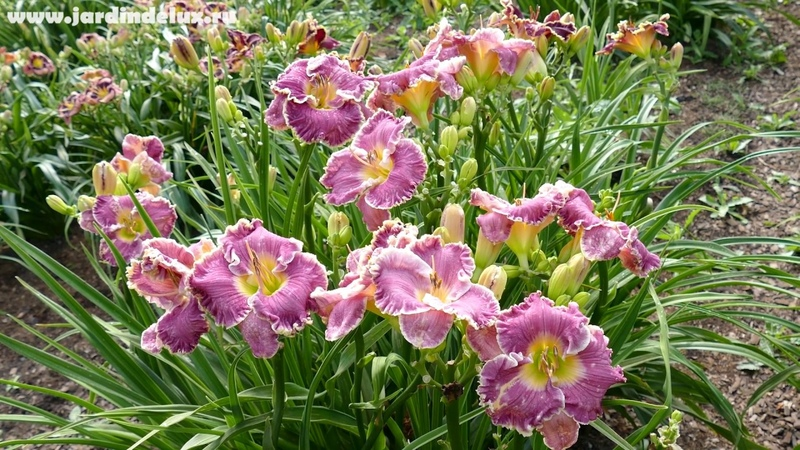 Цветение сортового лилейника CUTTING LOOSE в саду