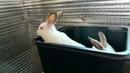 Пропаиваем крольчат от кокцидиоза. Байкокс-5%.