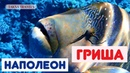 ЕГИПЕТ рыба НАПОЛЕОН «Гриша» РЫБЫ КРАСНОГО МОРЯ видео (Наполеон) ШАРМ-ЭЛЬ-ШЕЙХ Египет