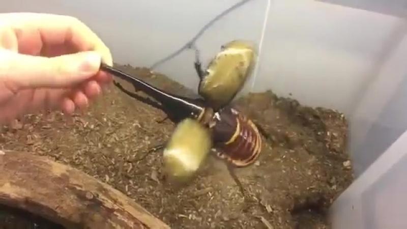 Домашний жук Геркулес