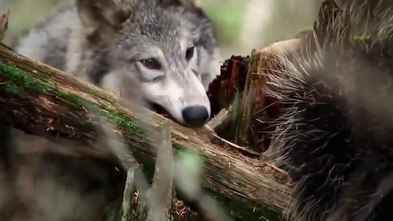 Дикая природа Аляски. Документальный фильм. national geographic, nat geo wild, discovery, bbc,