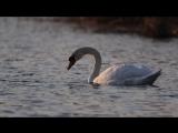 Лебеди на рассвете