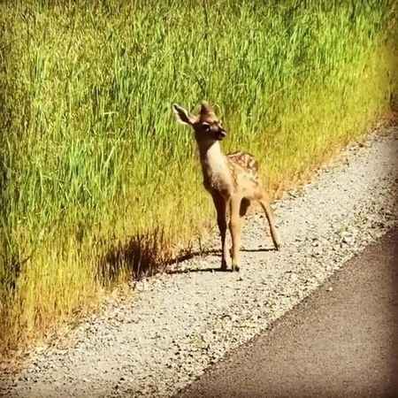 Animals Pets on Instagram Look at his cute walk 😍 Edit Don't worry it ran back to its mother and two other tiny baby deer right around the corn