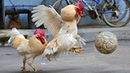 Funny Chickens Roosters – Rooster vs Dog Cat Videos - Cute Chicken Video