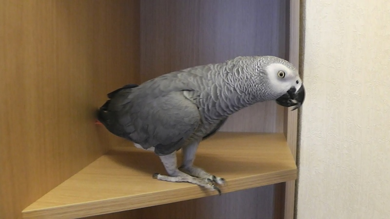 Попугай Маргоша изучает полочки