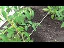 Как я подвязываю помидоры в тепличке