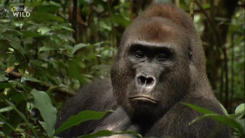 Дикая река Конго. Логово Кинг-Конга - [Full HD 1080i]