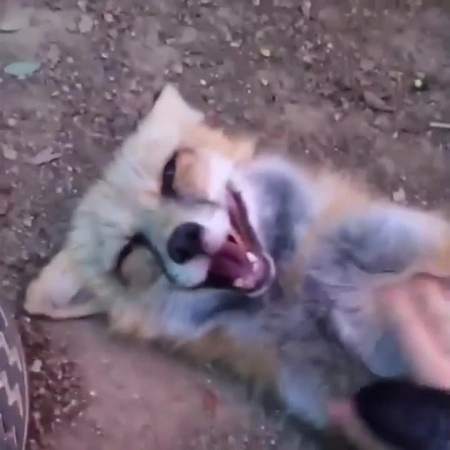 Fox get's tickled...