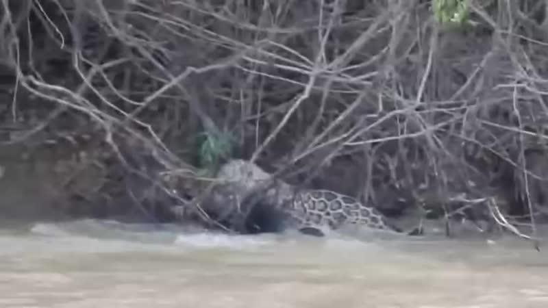 Поединок ягуара и каймана запечатлен на видео