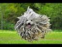 Порода собак Комондор Венгерская овчарка