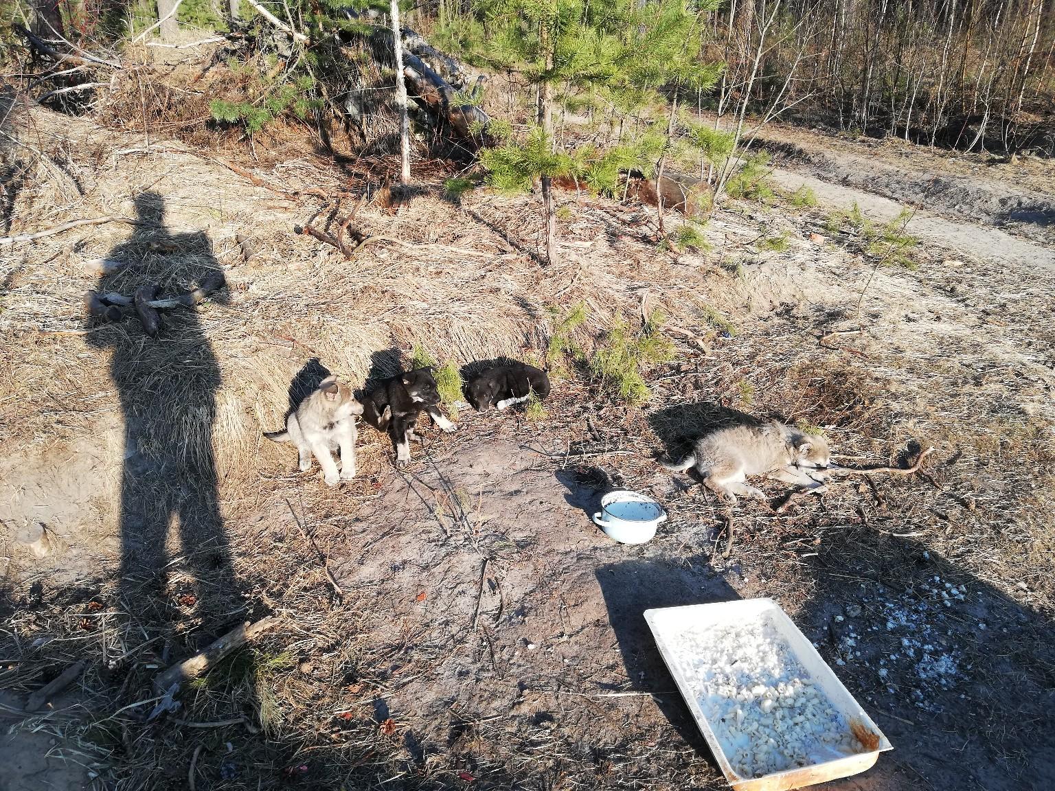 В лесу за тропой здоровья живут щенки.