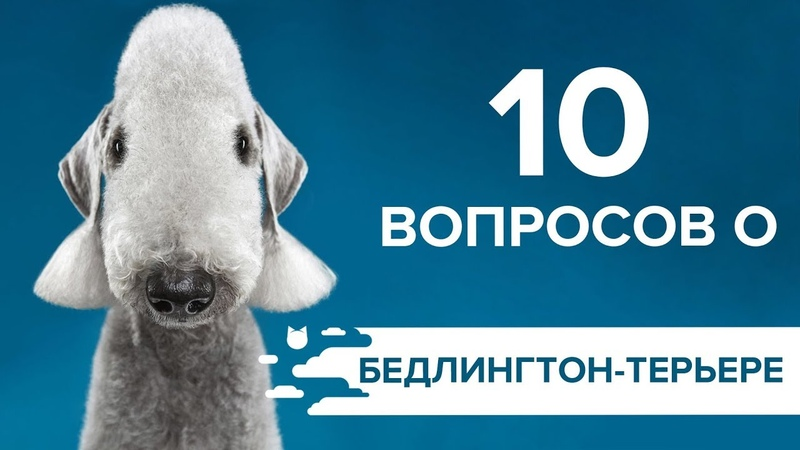 10 ВОПРОСОВ О БЕДЛИНГТОН-ТЕРЬЕРЕ | КОНКУРС!