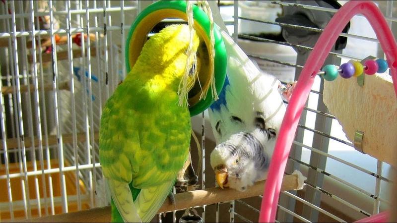 Как волнистые попугайчики чешут голову Budgie comb their feathers