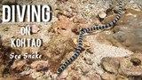 Scuba Diving on Koh Tao Island - Sea Snake