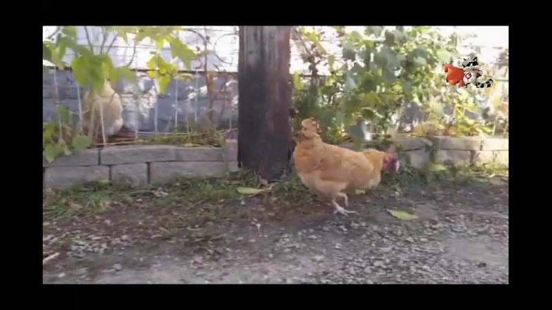 Курица канибал