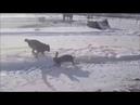 Финляндия. Заяц пришел поиграть с собакой.