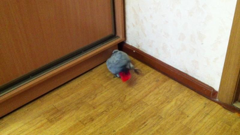 Григорий ямку роет,пока тренируется на полу.