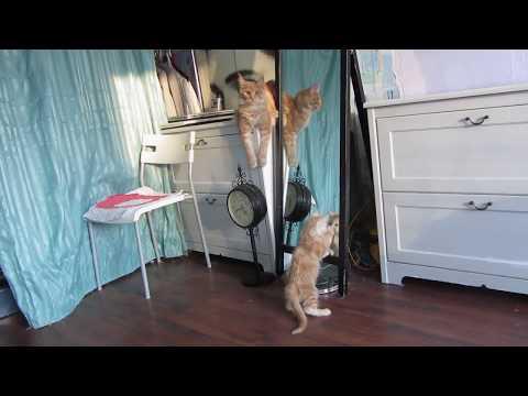 Мейн кун сражается с зеркалом Maine Coon fights with the mirror