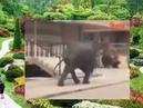 Ужас! Слон убийца ищет жертвы