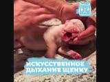 Искусственное дыхание спасло щенка