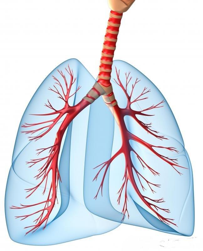 Дыхательная система человека, показывающая трахею, бронхиолы и легкие.