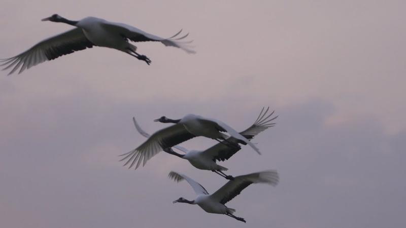 北海道鶴居村 タンチョウの飛翔 Japanese crane shot on SONY NEX FS700