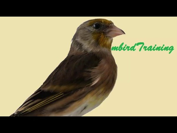 The BEST Canary mule Goldfinch training song 2 50min