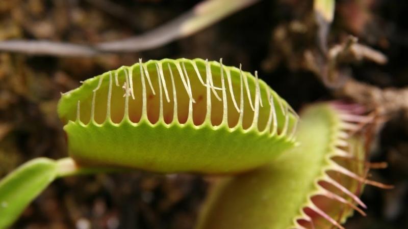 Хищное растение Дионея или Венерина мухоловка Уход в домашних условиях Охота на насекомых