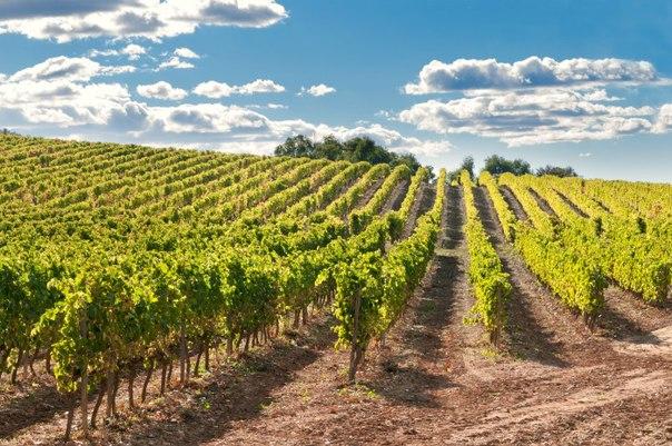 Выращивание винограда оквэд 100