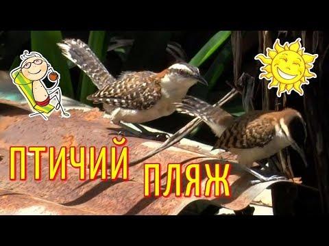 Забавные птички загорают в КОСТА РИКЕ