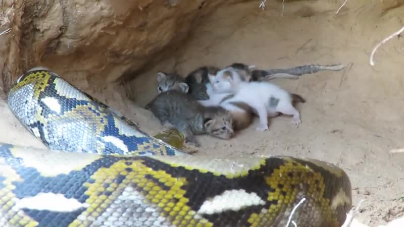Primitive Technology Boys Found Five Cats From Python Attack Python Attack Ca