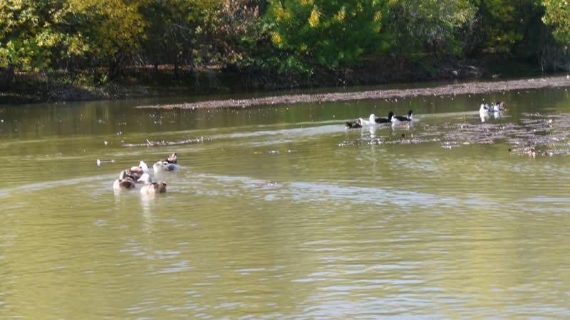 Гуси и утки на лотосовых полях