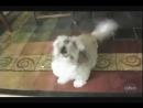 Собака орет как резаная )) (пипец соседям)