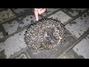 Pirmais ezis - Первый ёжик - First Hedgehog