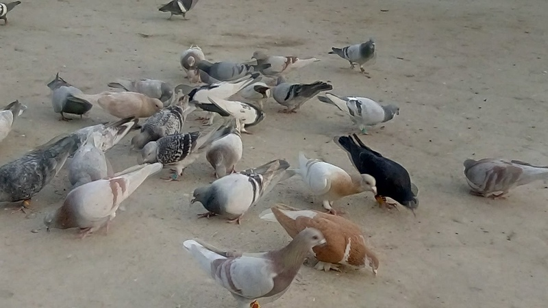 Beautiful pigeons kabootar for mohsin Baloch