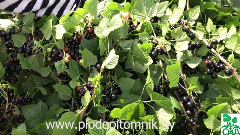 Смородина Геркулес Промышленный крупноплодный сорт смородины чёрной