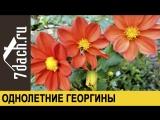 Как вырастить ОДНОЛЕТНИЕ ГЕОРГИНЫ из семян - 7 дач